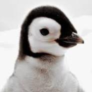 Tučňák_Arthur